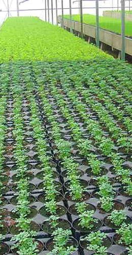 Centro serre coltivazione piante biologiche pomodoro bio for Melone coltivazione